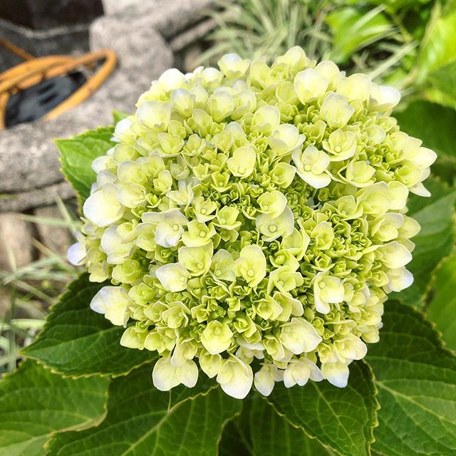 My hydrangeas are starting to bloom!