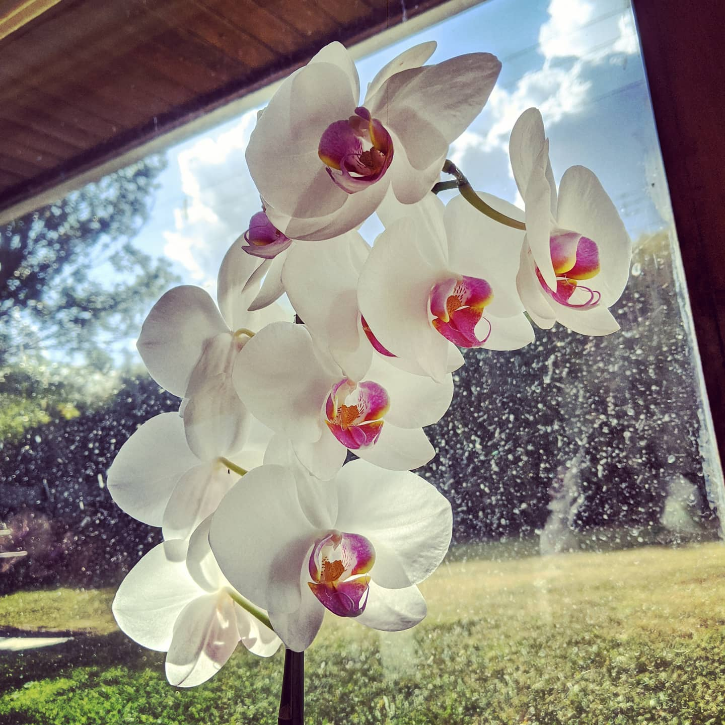 Everything I know about growing orchids I learned from my mother-in-law. Look at this excellence!