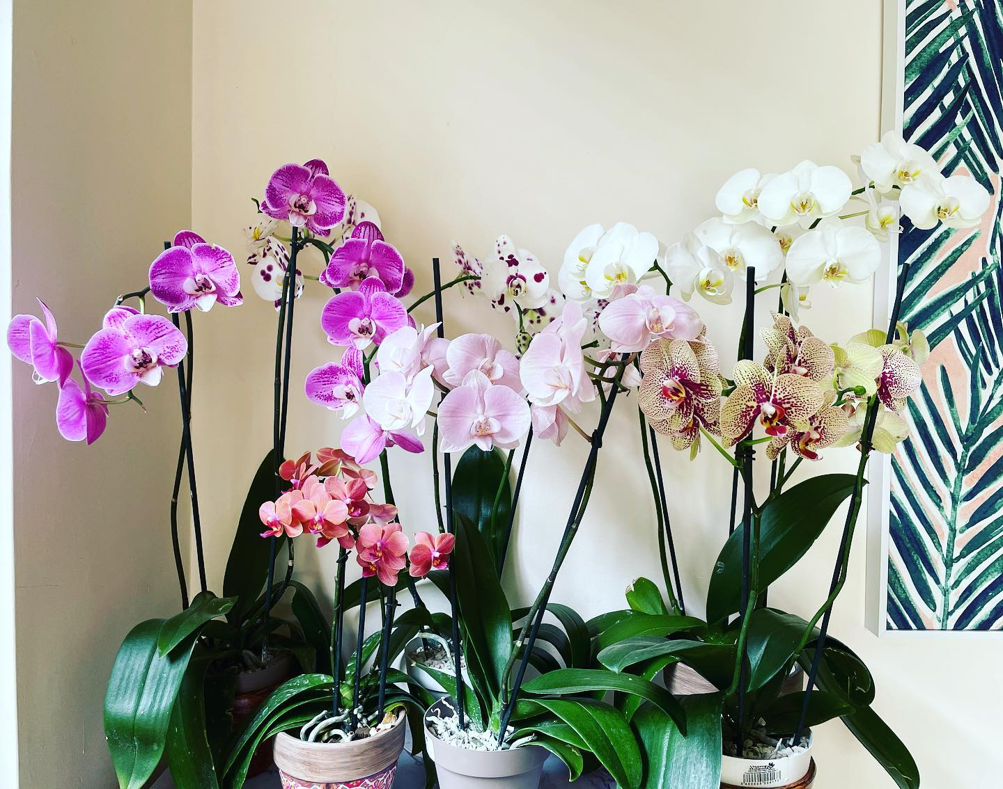 Happy 2 month birthday to this absolutely ridiculous burst of orchid blooms that just won't quit